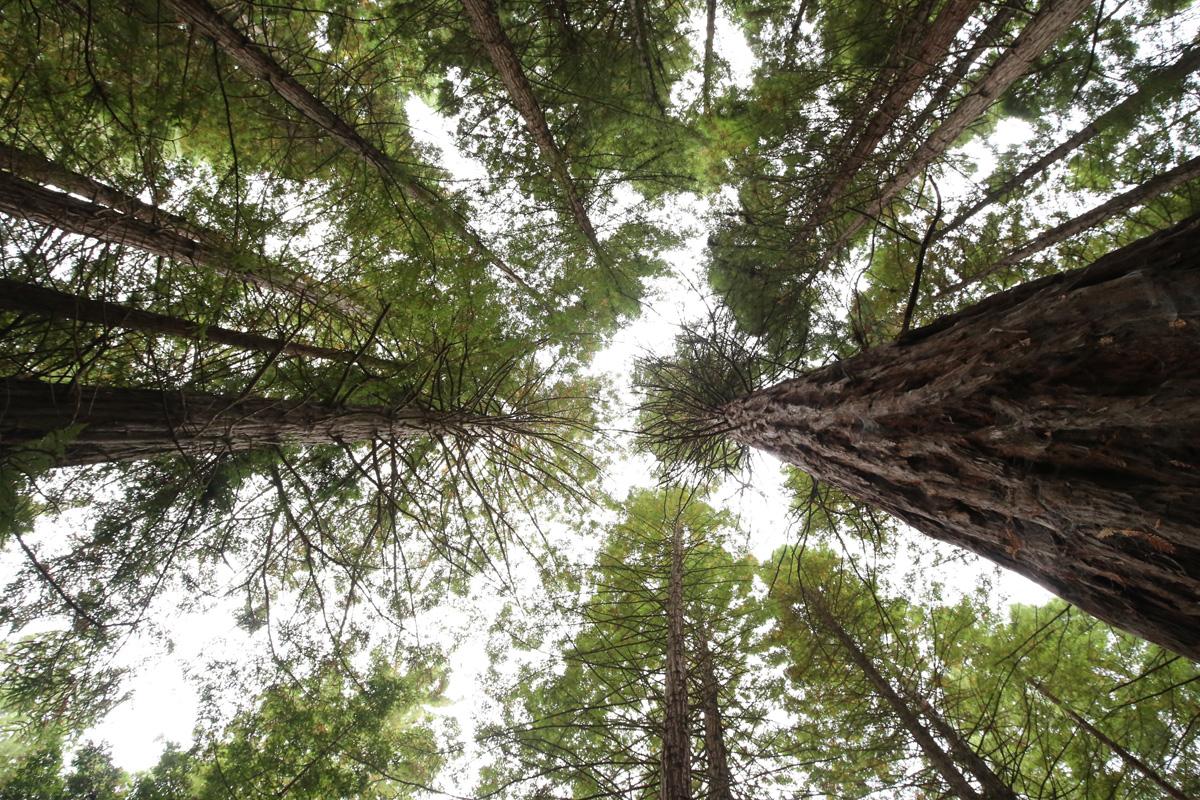 Las Redwood Whakarewarewa